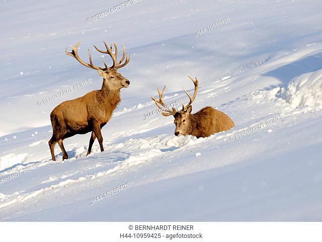 Red deer, antlers, antler, Cervid, Cervus elaphus, deer, stag, stags, hoofed animals, summers, velvet, autumn, snow, animal, animals, Germany, Europe