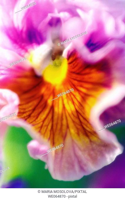 Bright Pansy Close-up. Viola x wittrockiana. May 2006, Maryland, USA