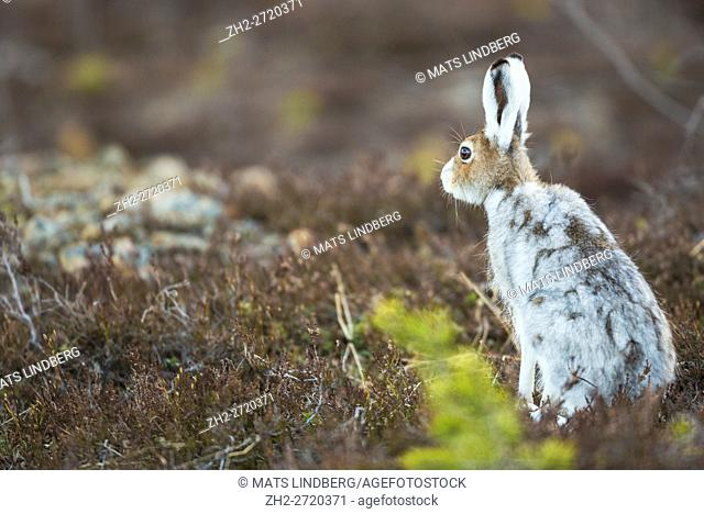 MMountain hare sitting with his back towards the camera and turning his head and listening, Gällivare, Swedish Lapland, Sweden