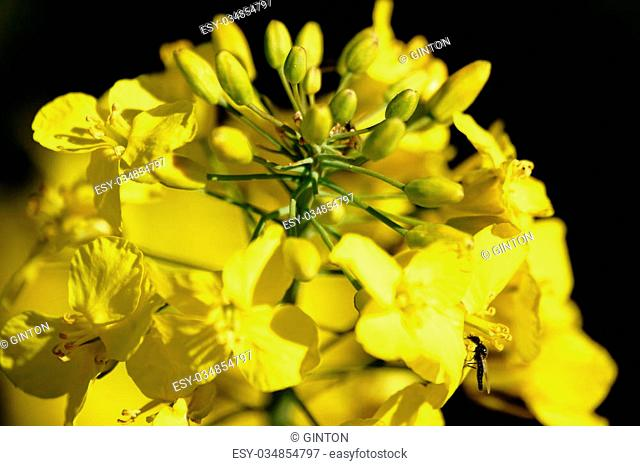 The closeup and top view of a blooming yellow rape flowers