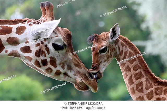 Nine-day-old giraffe Bine licks the nose of its giraffe aunt Andrea at Friedrichsfelde Zoo in Berlin, Germany, 09 May 2014