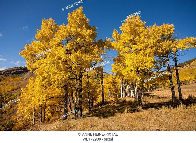 Aspen stand in fall. Along the Sheep River Canyon. Sheep Valley National Park, Alberta, Canada