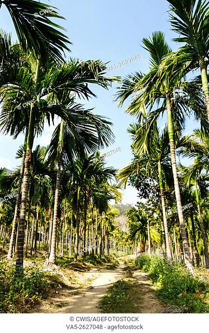 Hainan, China - The view of the Areca Forest in the Daytime
