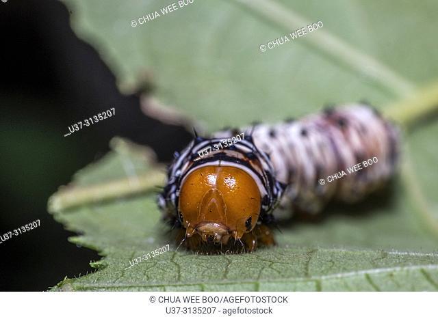 Caterpillar. Image taken at Stutong Forest Reserve Park, Kuching, Sarawak, Malaysia