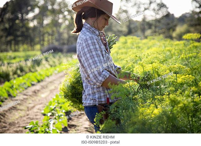 Young woman selecting flowering dill (anethum graveolens) from flower farm field