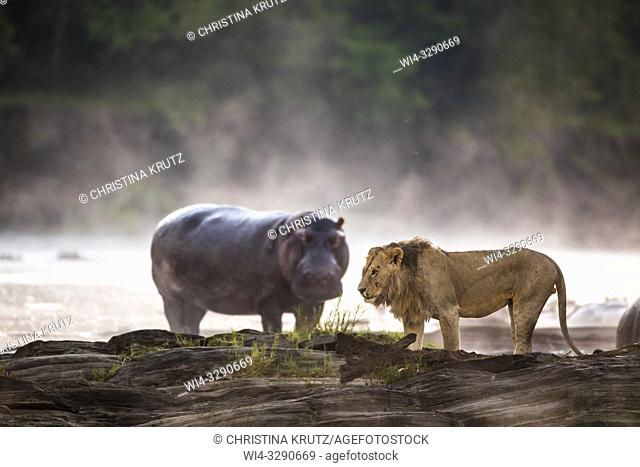 African Lion (Panthera leo) and Hippopotamus (Hippopotamus amphibus) on the edge of the Olare Orok River, Maasai Mara National Reserve, Kenya, Africa