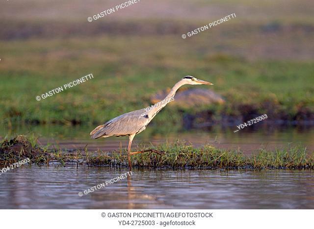 Grey heron (Ardea cinerea), chobe river, Chobe National Park, Botswana