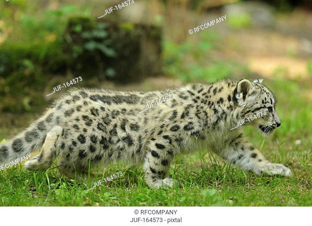 Snow leopard - cub - walking / Uncia uncia