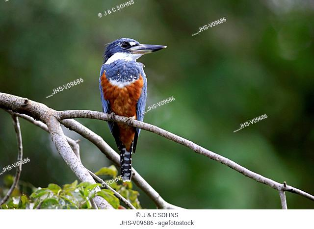 Ringed Kingfisher, (Ceryle torquata), adult on branch, Pantanal, Mato Grosso, Brazil, South America