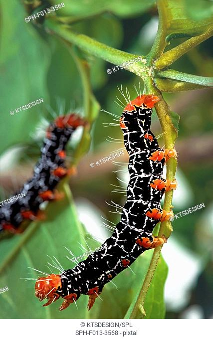 Moth caterpillars (Isognathus caricae) on a plant stem
