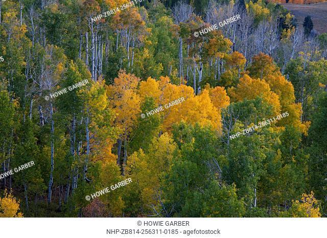 Aspen Trees, Mount Nebo Scenic Loop, Utah