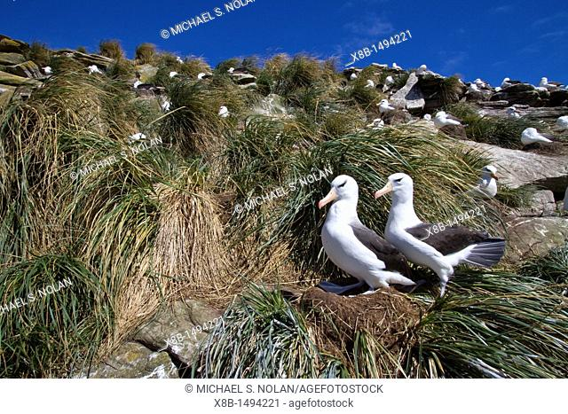 Black-browed albatross Thalassarche melanophrys breeding colony on Carcass Island in the Falkland Islands, South Atlantic Ocean  MORE INFO The black-browed...