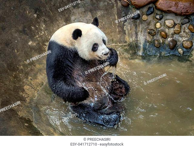 Panda is playing water by the pond