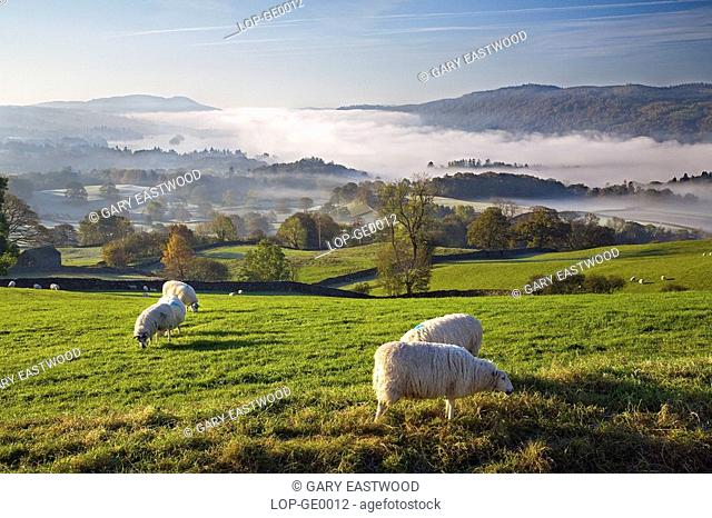 England, Cumbria, Lake Windermere. Sheep grazing above the morning mist over Lake Windermere