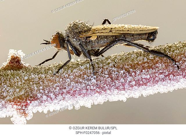Empid fly (empididae) on a frozen branch covered by ice crystals