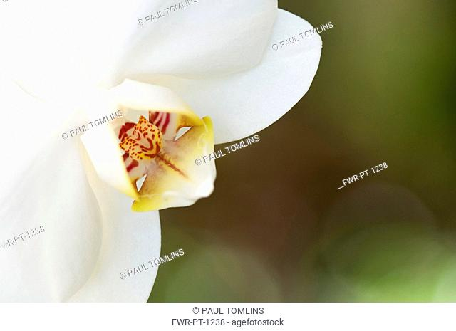 Orchid, Close up of white flower
