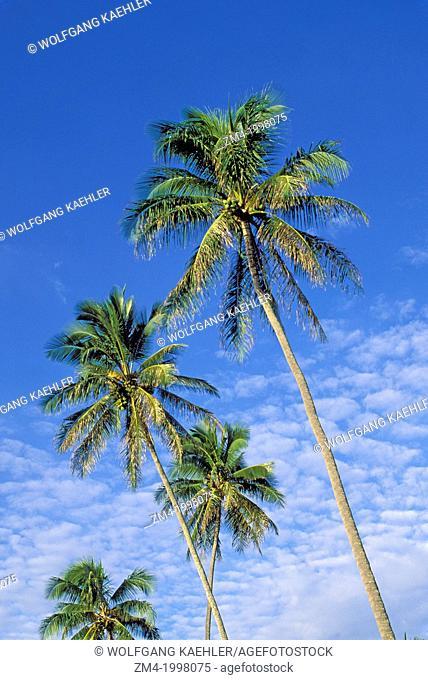 USA, HAWAII, KAUAI, COCONUT PALM TREES (Cocos nucifera)