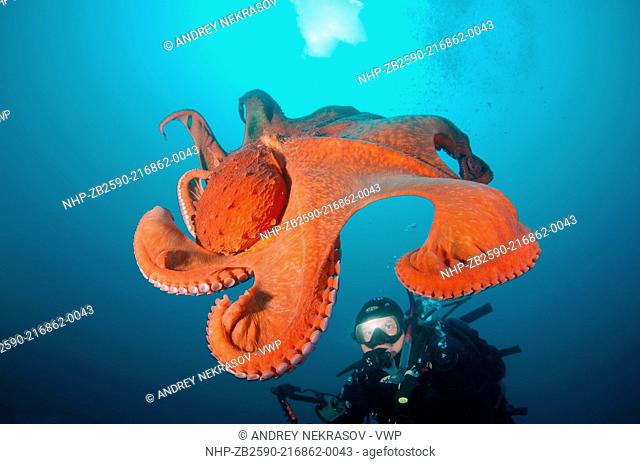 giant Pacific octopus or North Pacific giant octopus, Enteroctopus dofleini Japan sea, Far East, Primorsky Krai, Russian Federation