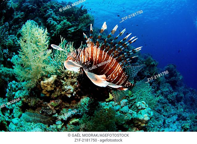 Common lionfish swimming in the north of Egypt, Ras Mohamed reef, Red Sea. Pterois volitans