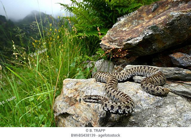 Piemont viper, Italian viper, Italian adder (Vipera walser), male lying on a rock, Italy, Piedmont