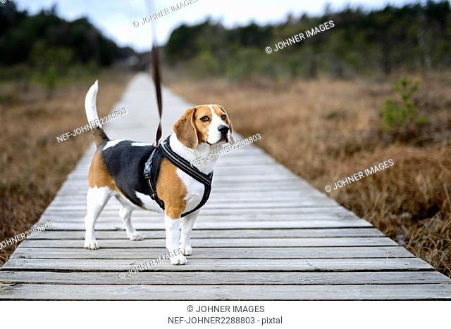 Beagle on boardwalk