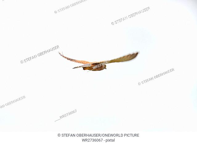 Namibia, Kunene, Etosha National Park, parasitic milan in flight, parasitic milan in flight (Milan milvus aegyptius)