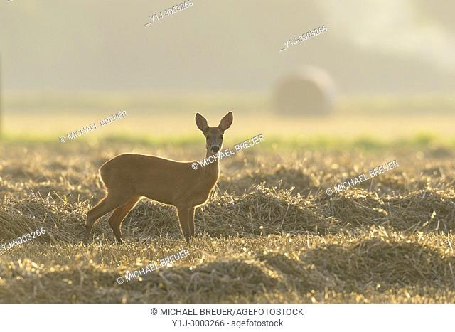 Western Roe Deer (Capreolus capreolus) on Stubblefield, Female, Hesse, Germany, Europe