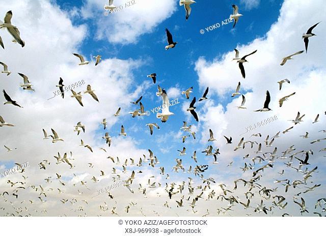 Oman, Al Had, marine birds