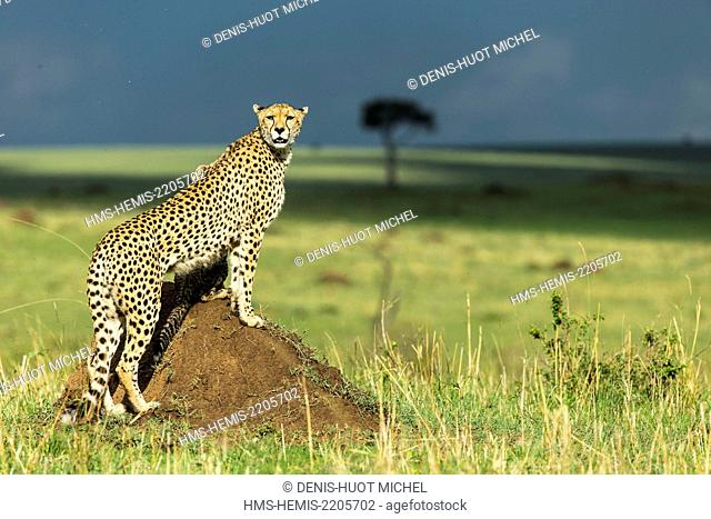 Kenya, Masai-Mara game reserve, cheetah (Acinonyx jubatus), female and cubs 4 months old