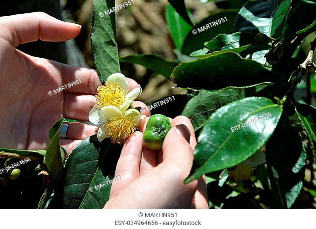 green tea plant flower and fetus on the plant in human hands
