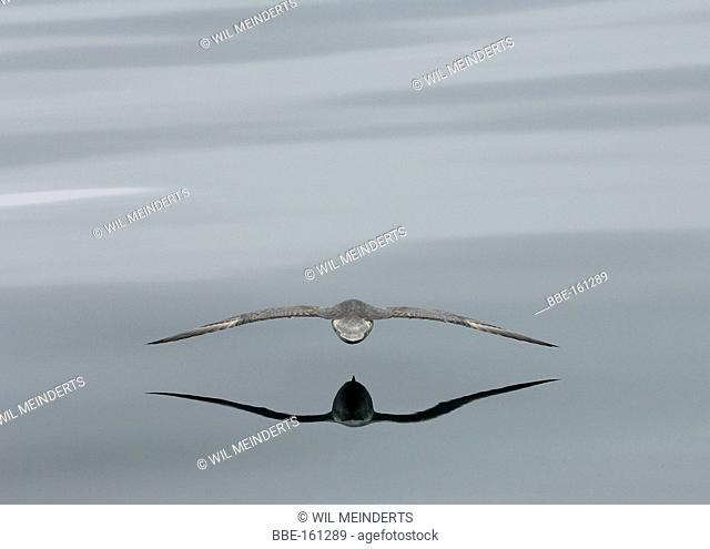 Northern Fulmar flying low over water surface