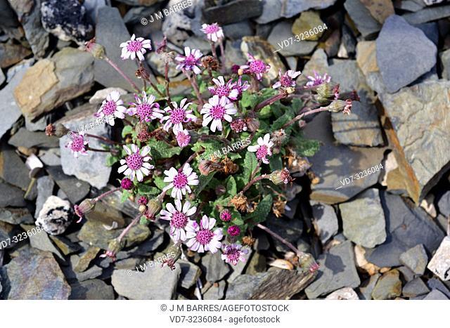 Margalideta de mar (Senecio rodriguezii) is a perennial herb endemic to Mallorca and Menorca, Balearic Islands, Spain. This photo was taken in Cala Pregonda