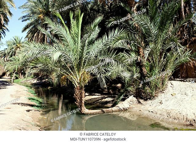 Tunisia - Tozeur - Palm trees in the palm grove and an irrigation canal