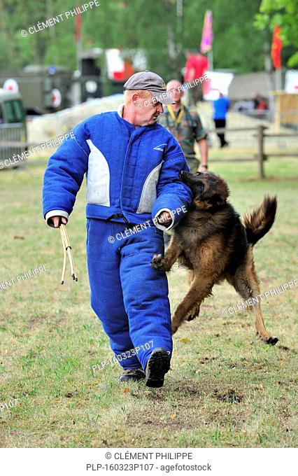 Military attack dog, Belgian Shepherd Dog / Malinois, biting man in protective clothing during training session