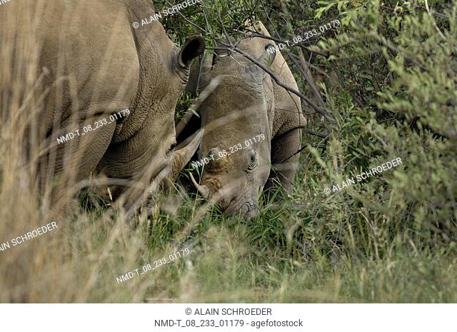 Two Rhinoceros Ceratotherium simum in a forest, Pilanesberg Park, North West Province, South Africa
