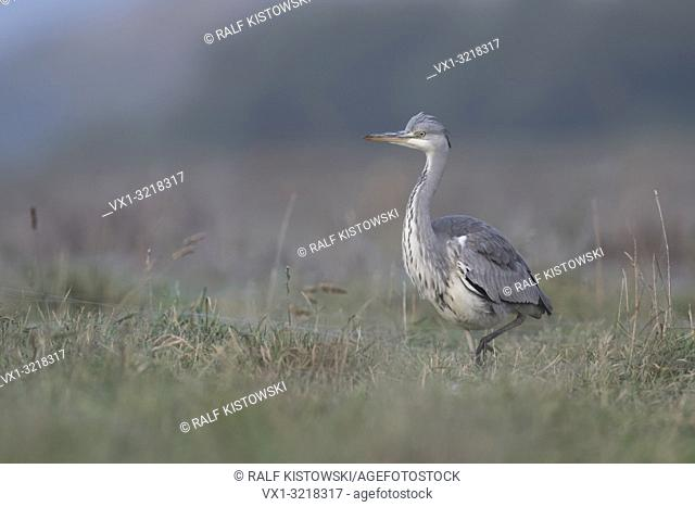 Grey Heron / Graureiher ( Ardea cinerea ) striding stealthily through a wet meadow, frontal side view, soft light, in typical environment