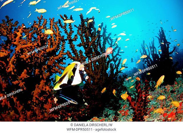 Masked Bannerfish and Lyretail Anthias, Heniochus monoceros, Pseudanthias squamipinnis, North Ari Atoll, Maldives