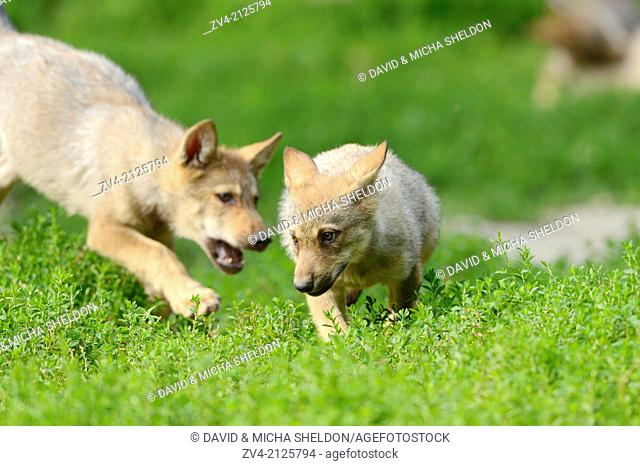 Eastern wolf (Canis lupus lycaon) whelps playing on a meadow, Germany, Europe