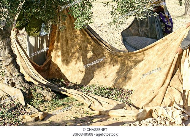 Photo essay. Olive growing in Tunisia. The olives harvested by hand fall on tarpaulins