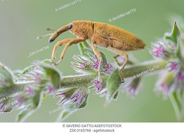 Lixus pulverulentus, close-up of adult on a plant