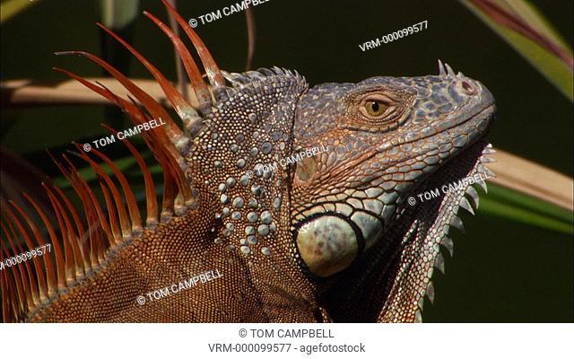 Common iguana Iguana iguana male shakes head aggressively, alien species. Florida, USA