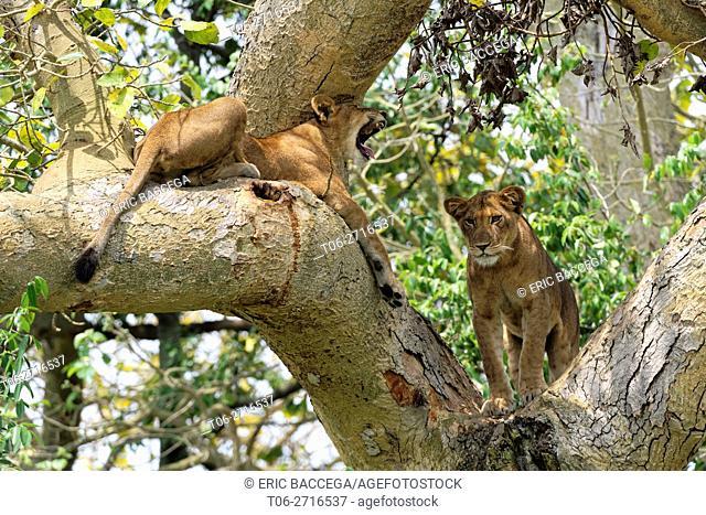Tree climbing lion, female and cub, resting in fig tree, Ishasha sector (Panthera leo) Queen Elizabeth National Park, Uganda, Africa