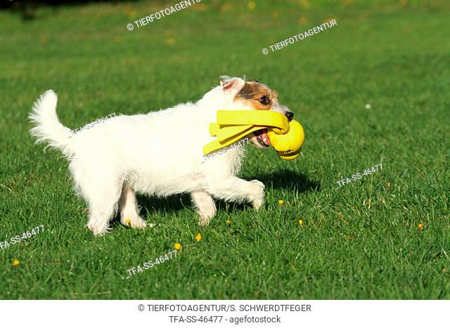 playing Parson Russell Terrier