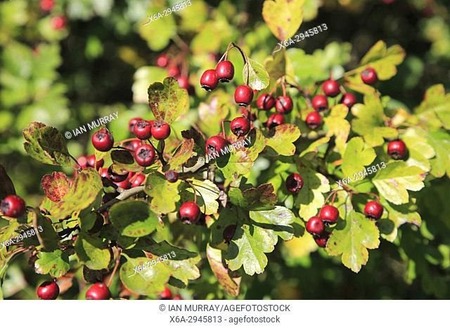 Close up of hawthorn berries growing on bush, Suffolk, England, UK