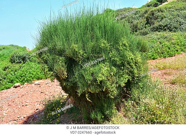 Joint pine (Ephedra fragilis) is a poisonous shrub native to eastern and western Mediterranean Basin. This photo was taken in Menorca, Balearic Islands, Spain