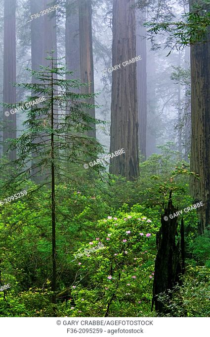 Old broken tree trunk growing next to new young redwood tree in forest with fog, Del Norte Coast Redwood State Park, California