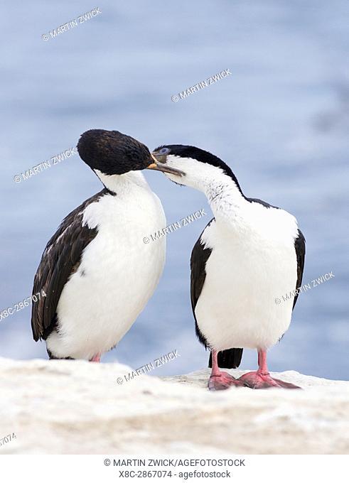 Imperial Shag also called King Shag, King Cormorant, Blue eyed Shag(Phalacrocorax atriceps, Leucarbo atriceps) . South America, Falkland Islands, January