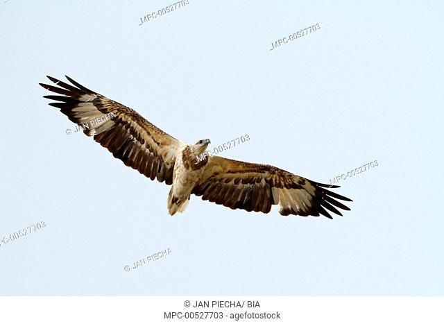 White-bellied Fish-Eagle (Haliaeetus leucogaster) flying, Queensland, Australia