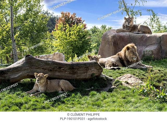 Captive African lions (Panthera leo) lion pride with males and lionesses resting in zoo / animal park / zoological garden