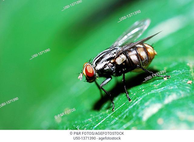 Fly on leaf Diptera, Sarcophagidae, 2009